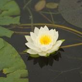 fiore di loto.jpg