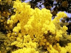 mimose-2.jpg